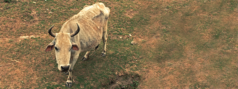 Picture of a famished cow